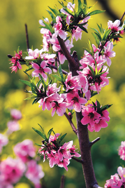 Pretty peach flowers bring back memories of ancient China