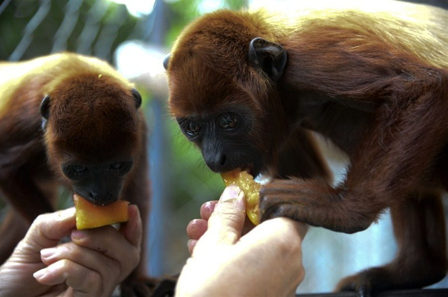 Red howler monkeys released to the wild
