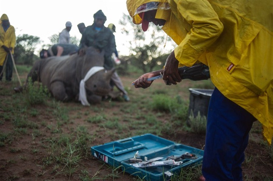 Poachers kill record number of rhinos
