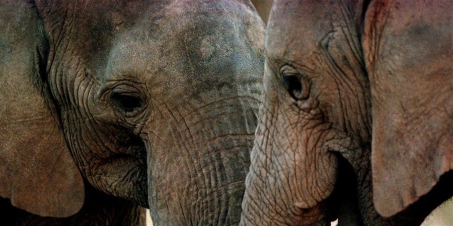 Poaching blamed for drop in elephant population
