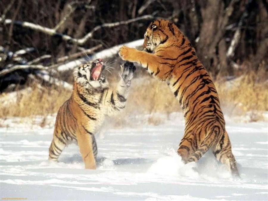 Rare leopards, Siberian tigers make bold return