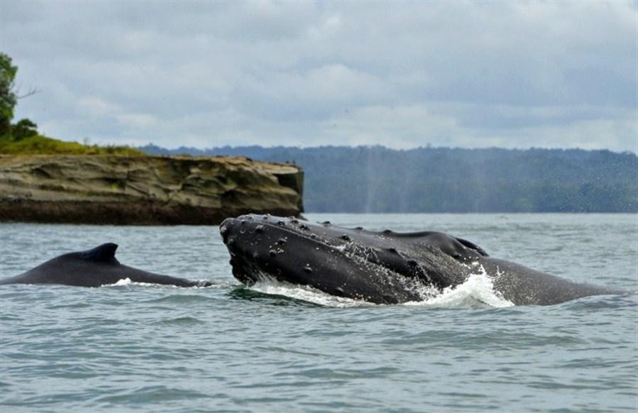 Newborn whales whisper to mothers to avoid predators
