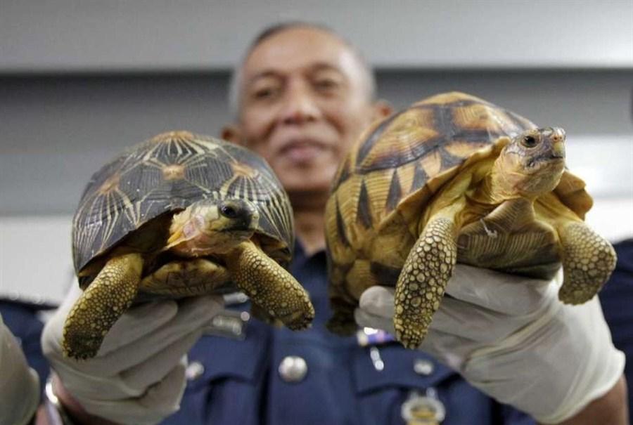 Malaysia seizes smuggled tortoises worth US$300,000