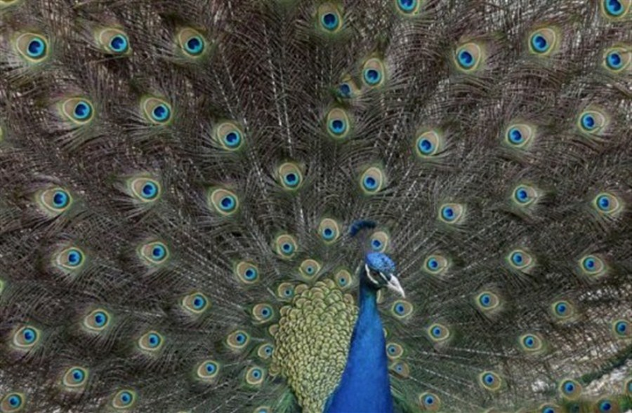 Indian judge stirs online row with 'pious' peacocks