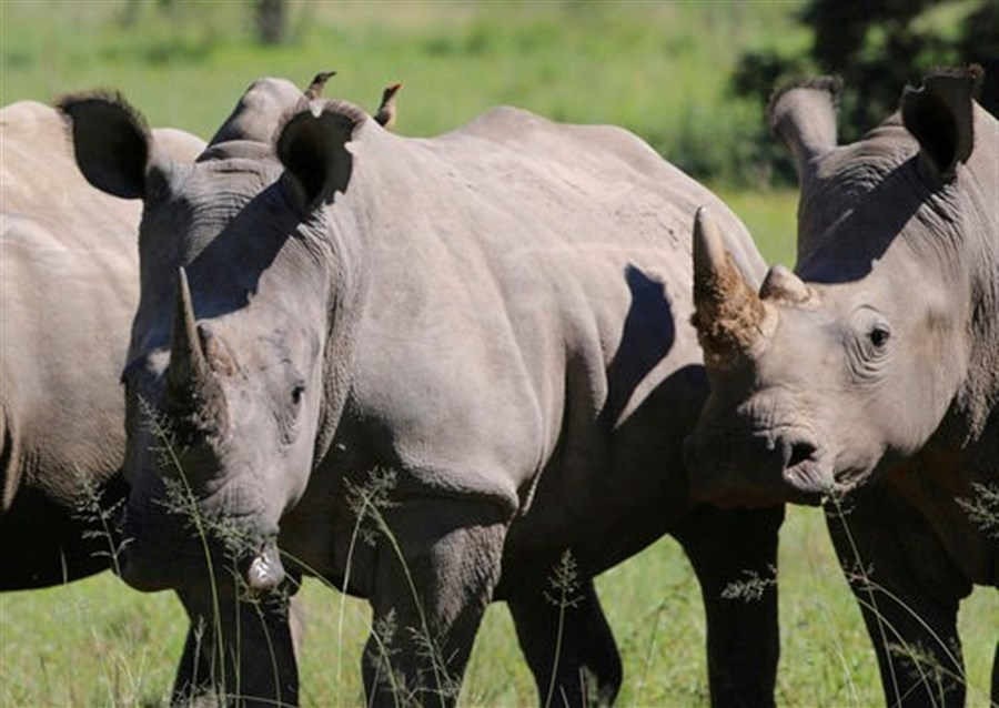 Rhino horns up for controversial sale