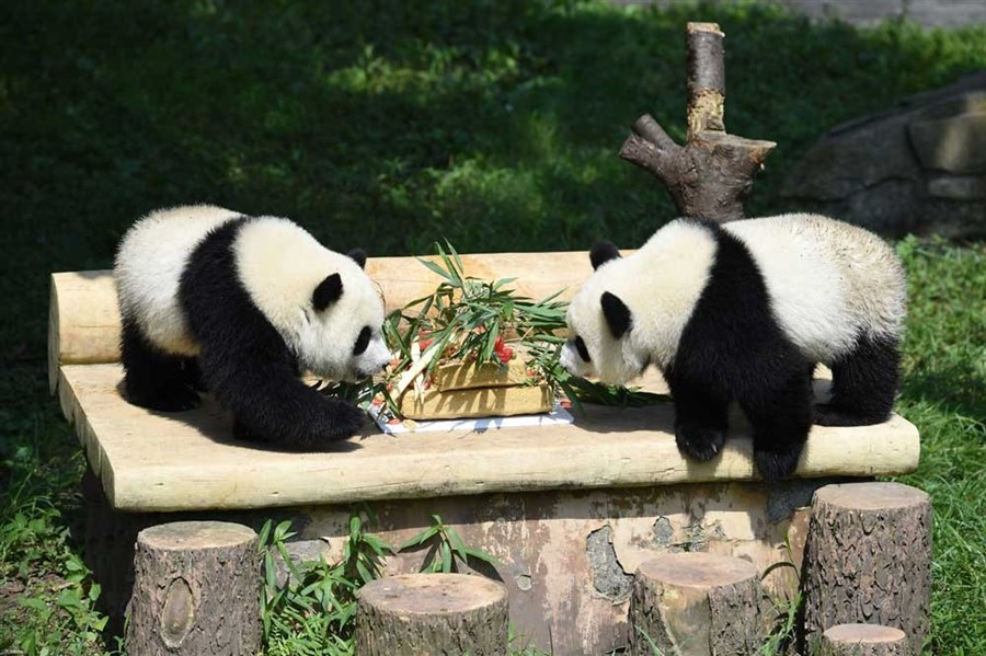 Party time for Chongqing's twins