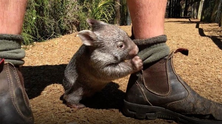 George the wombat turns 1