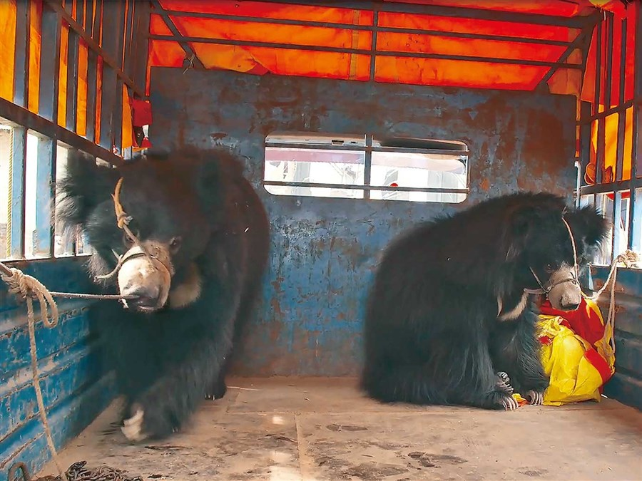 Nepal's last known 'dancing bears' rescued from suffering