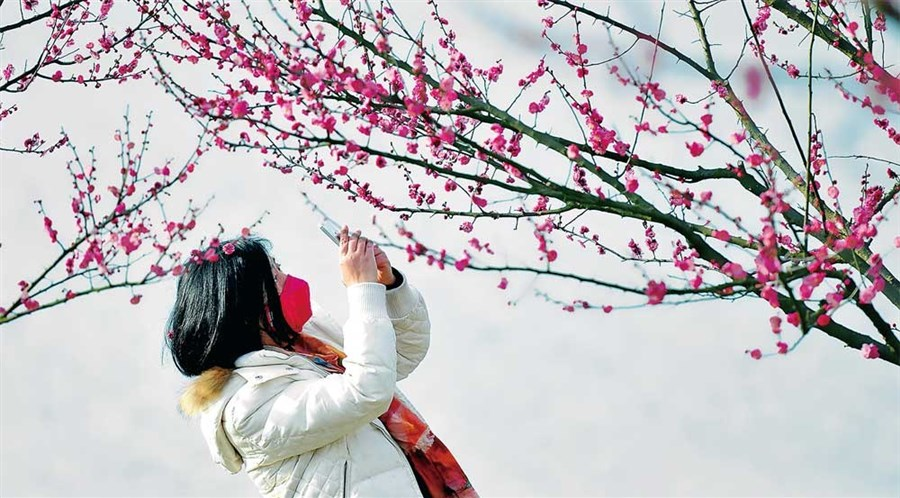 Wintersweet flowers bloom in city