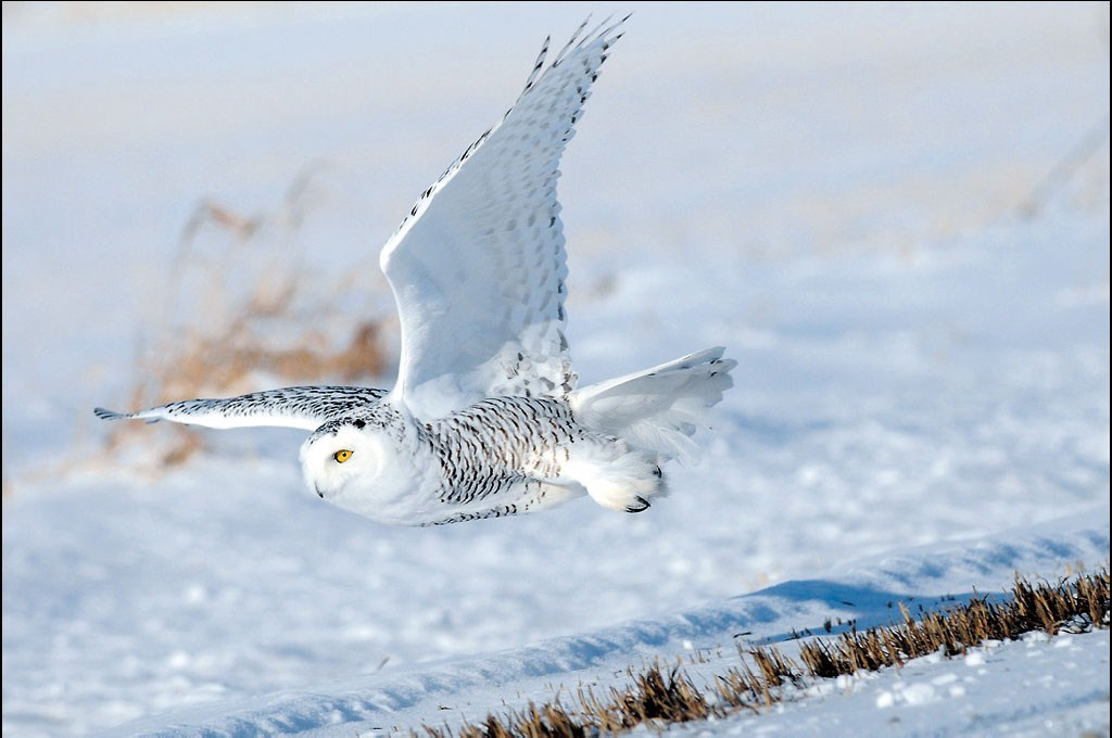 snowy owls of the arctic