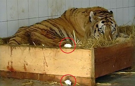 This caged tiger (pictured) is given two live mice for a snack to cheer it up - only for the three animals to end up becoming friends.