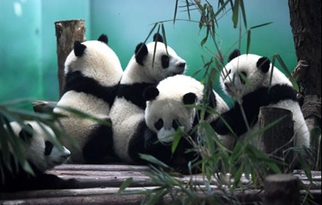 Giant pandas in Chengdu Research Base of Giant Panda Breeding in southwest China's Sichuan Province. The number of wild giant pandas in Sichuan has risen in the past decade, according to figures released yesterday by the provincial forestry department.