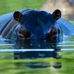 Drug lord's pet hippos roam Colombian village