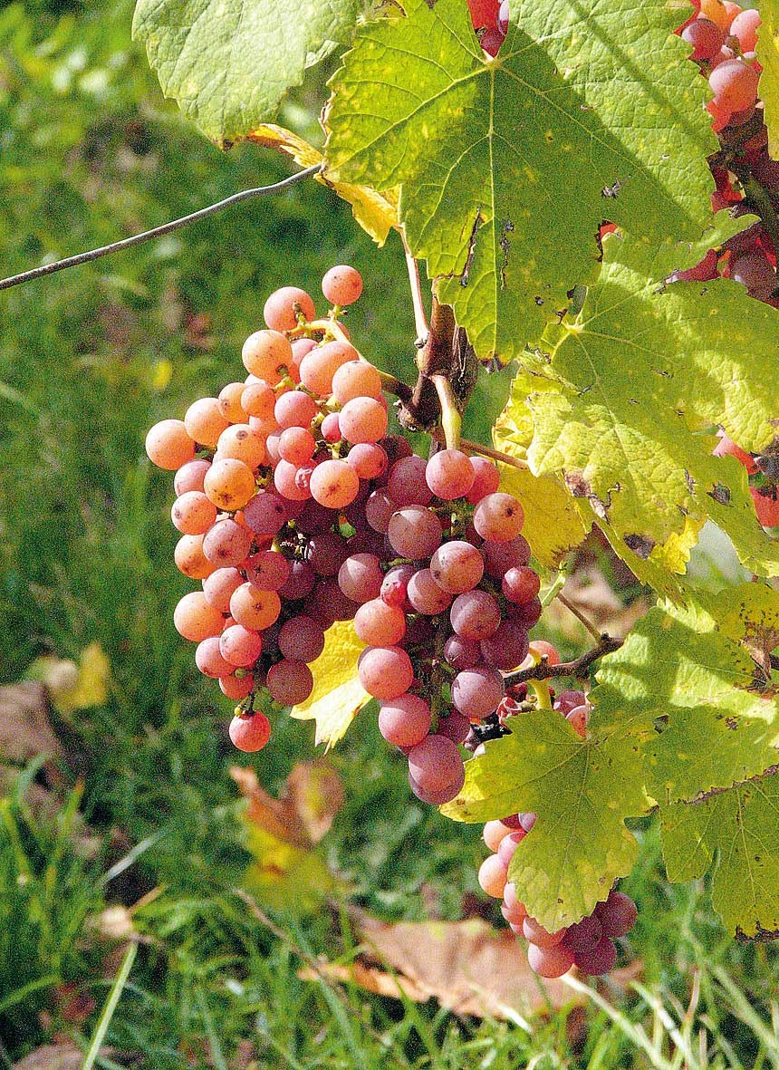 Gewürztraminer grapes on the vine