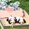 100-day celebration held for twin panda cubs in SW China