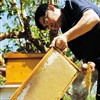 Beekeepers tap the buzz to cash in on pure honey