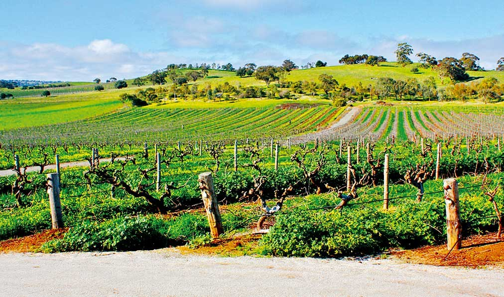 Old Shiraz vines in Barossa Valley, Australia