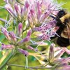 US officials list a bee as endangered for first time