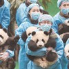Panda cubs ready for New Year