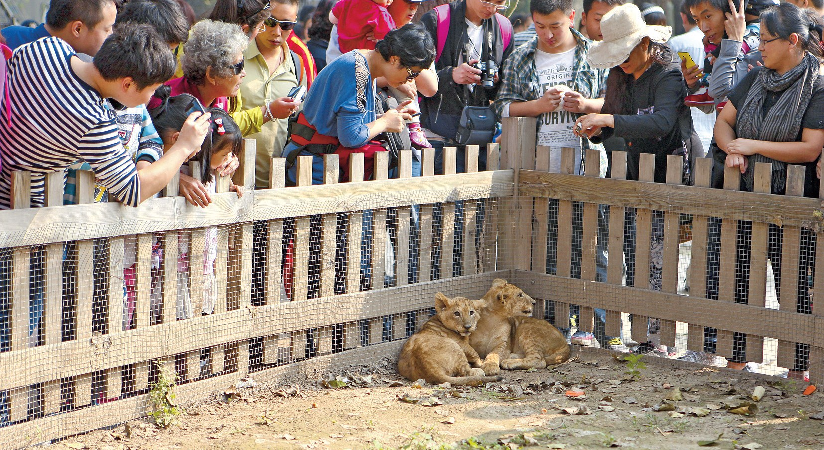 Visitors at Beijing Wildlife Park gather around lion cubs to take photos (left) and feed deer from a caged vehicle. The park came into the spotlight in July when a visitor was killed and another injured by Siberian tigers.