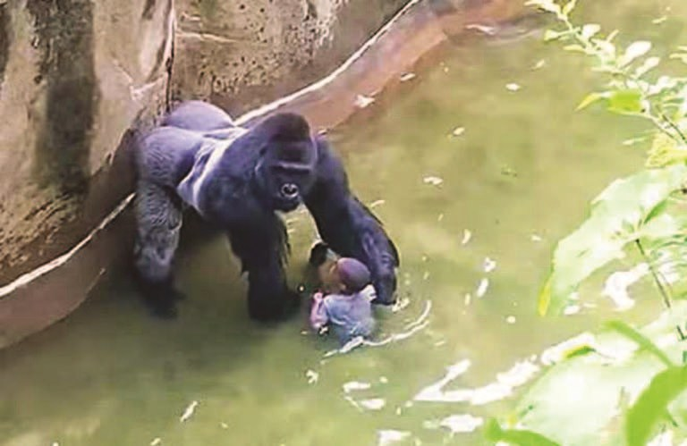 A screen shot of a 17-year-old gorilla named Harambe grabbing a 3-year-old boy at Cincinnati Zoo in Ohio in 2016. The gorilla was shot dead by zoo officials to save the boy. A