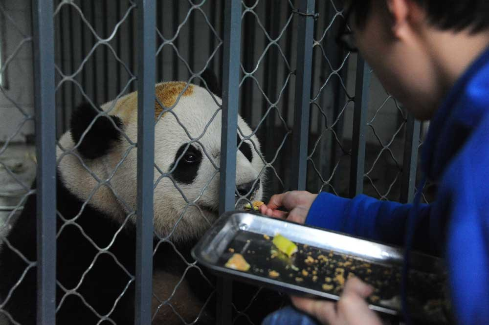 Giant panda Bao Bao eats steamed breads from a keeper at a breeding center in Sichuan Province, yesterday. It is the first time the 3-year-old, who was born and raised in the United States and came back to China last month, accepted the new diet. Bao Bao is known for being a picky eater. She hates carrots and until yesterday would spit out the steamed breads mixed in her food. — CFP