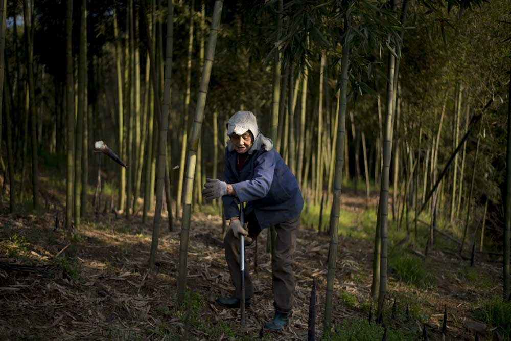 A woman harvests bamboo shoots in the village of Shimen, near the city of Lin'an in east China's Zhejiang Province. Lin'an is in area rich in bamboo forests and is estimated to supply up to two-thirds of the nation's bamboo shoots, plus a range of other products that are derived from the fast-growing plant and that have been produced for markets both at home and abroad. — AFP