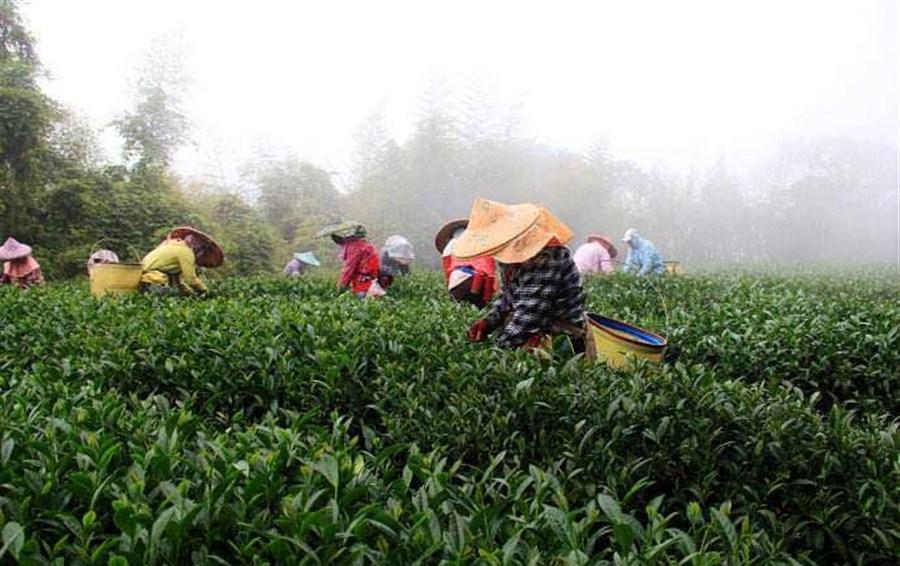 The sun shines on Taiwan's tea growers