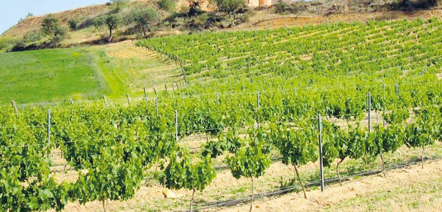 Toro vineyard