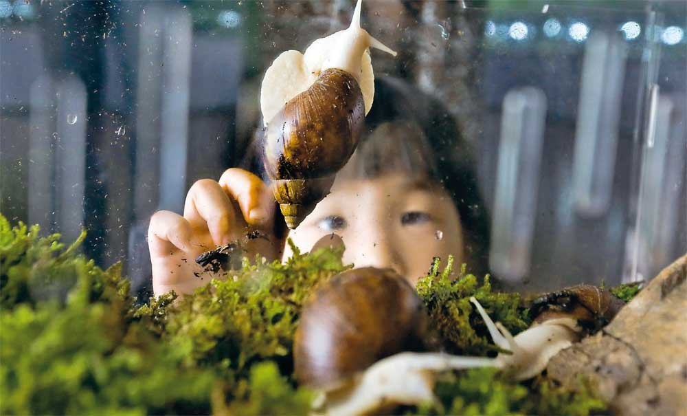 A child is captivated by a snail on display in Shanghai Zoo yesterday. — Wang Rongjiang