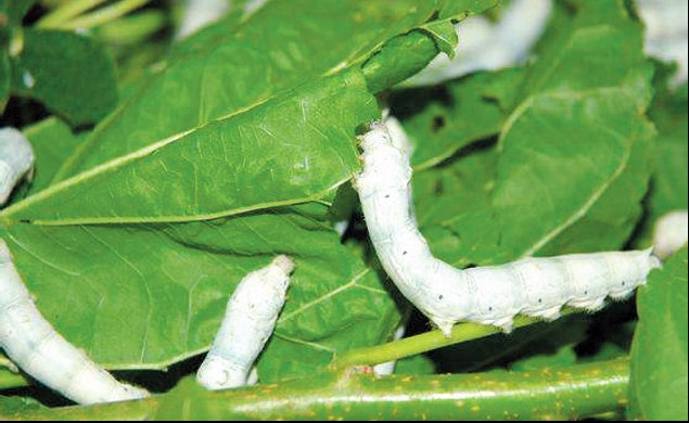 The arrival of xiaoman also marks the important period for taking care of the silkworms about to cocoon in south China.