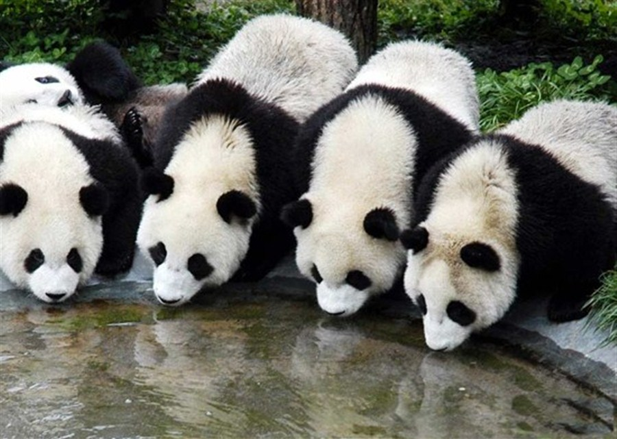 Genetic profiles compiled for over 300 wild giant pandas