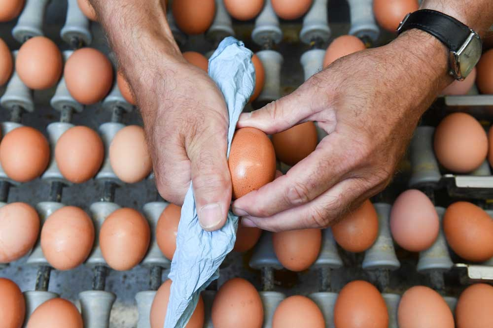 A worker cleans an egg at a poultry farm near the Belgian city of Namur. A scandal involving eggs contaminated with insecticide has spread to as far away as Hong Kong. — AFP