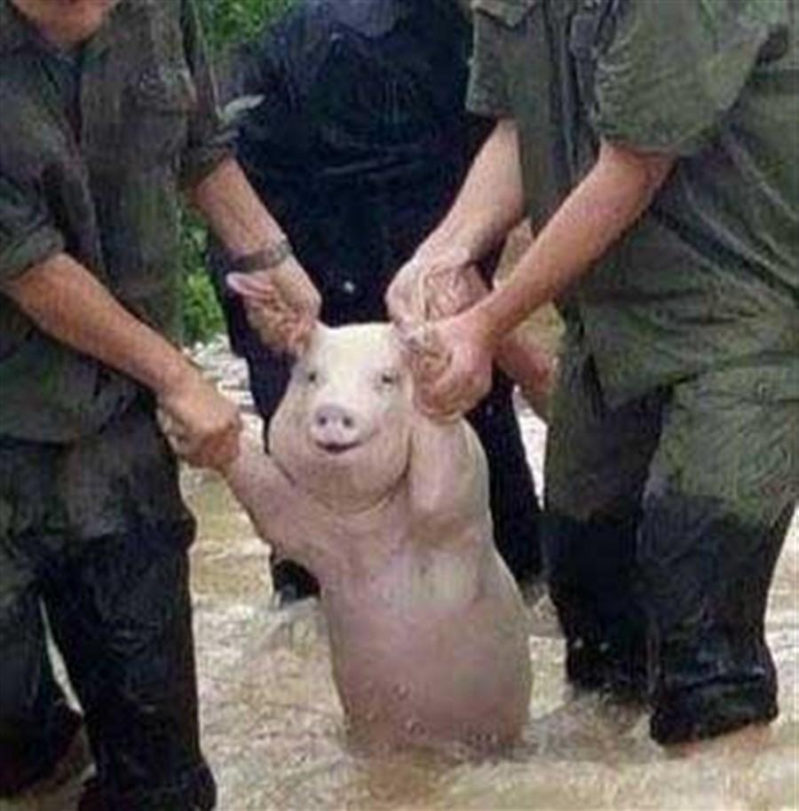 Smiling pig goes viral after flood rescue
