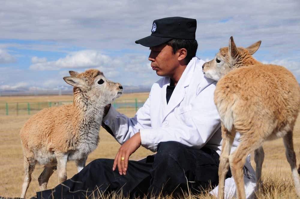 Two Tibetan antelope calves among the eight rescued in July are seen with a staff member at the Sonam Dargye protection station. They will be released during the next migration season. — Xinhua